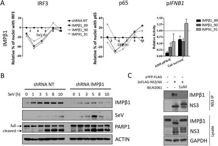 Importin β1 (IMPβ1) silencing impairs IFN regulatory factor 3 (IRF3) and NF‐κB p65 nuclear translocation, IFNB1 induction, and increases Sendai virus (SeV) protein expression and cell apoptosis. A, A total of 3 independent short hairpin RNA (shRNA) targeting IMPβ1 significantly affected nuclear translocation of both IRF3 (left panel) and NF‐κB p65 (middle panel) when compared with the shRNA NT. Relative percentage of cells containing IRF3 and p65 in the nucleus are illustrated after normalization of the control shRNA NT to 0 for all time points. The effect of shRNA‐mediated knockdown on SeV‐induced IFNB1 production is measured in A549 cells stably expressing the firefly luciferase under the control of the IFNB1 promoter (right panel). In addition, the effects of each shRNA on cell proliferation and survival are evaluated using images from the microscopy screen by dividing the total number of nuclei for a given shRNA and dividing it by the total number of nuclei for the shRNA NT control (right panel). B, Immunoblot analysis of A549 cells infected with SeV for 1, 3, 5, 8 or 10 hours following transduction with shRNA NT (control) or shRNA 89 targeting IMPβ1 for 3 days. PARP1 cleavage (arrows) is used as apoptosis readout. C, Human Embryonic Kidney (HEK)293T cells are transfected with 3×FLAG‐NS3/4A expression vector and treated with 1 μM of BILN 2061 PI. At 48 hours post‐transfection, cells are harvested and co‐immunoprecipitation using anti‐FLAG coated beads is performed on cell lysates. NS3 and IMPβ1 interaction is resolved using immunoblot. NS3, NS3/4A precursor, IMPβ1 and cleaved IMPβ1 are resolved using immunoblotting analysis of cell lysates