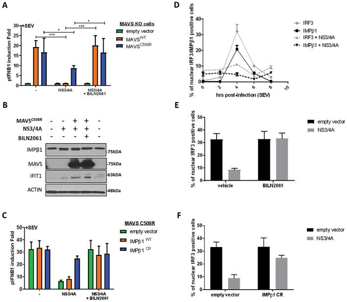 NS3/4A‐mediated cleavage of importin β1 (IMPβ1) and interferon‐β (IFNB1) inhibition are completely restored by expression of NS3/4A cleavage‐resistant IMPβ1 variant (IMPβ1 CR ) and treatment with BILN 2061 PI. A, Human Embryonic Kidney (HEK)293T MAVS knockout (KO) cells were transfected with an empty vector or an NS3/4A, MAVS WT , cleavage resistant MAVS C508R and pIFNB1‐LUC expression plasmids, as indicated, for a total of 48 hours. BILN2061 was used as a positive control to inhibit protease activity of NS3/4A protein. At 32 hours post‐transfection, cells were infected with Sendai virus (SeV) for 16 hours and luciferase signal was resolved. Average pIFNB1 induction folds are from 6 biological replicates. Data were analyzed using 1‐way ANOVA and significance using Bonferroni post hoc test. B, HEK293T MAVS KO cells were transfected with cleavage resistant MAVS C508R , an empty vector or NS3/4A, as indicated, for a total of 48 hours. BILN2061 was used as a positive control to inhibit protease activity of NS3/4A protein. At 32 hours post‐transfection, cells were infected with SeV for 16 hours and were harvested for western blot analysis. Immunoblots of IMPβ1, MAVS, IFIT1 and Actin are presented to complement luciferase results from (A). C, HEK293T MAVS KO cells reconstituted with cleavage resistant MAVS C508R were transfected with an empty vector or NS3/4A, IMPβ1 WT or cleavage resistant IMPβ1 CR and pIFNB1‐LUC expression plasmids, as indicated, for a total of 48 hours. BILN2061 PI was used to inhibit protease activity of NS3/4A protein. At 32 hours post‐transfection, cells were infected with SeV for 16 hours and luciferase signal was resolved. Average pIFNB1 induction folds are from 6 biological replicates. Data were analyzed using 1‐way ANOVA and significance using Bonferroni post hoc test. D, A549 cells were transfected with MAVS C508R , an empty vector or NS3/4A, for a total of 48 hours, as indicated. At 40 hours post‐transfection, cells were either uninfected (time 0) or infected with SeV for 2, 4, 6 and 8 hours. Cells were fixed, permeabilized and stained for IRF3 and IMPβ1, and nuclear positive cells were resolved using immunofluorescence. E, A549 cells were transfected with MAVS C508R , an empty vector or NS3/4A, for a total of 48 hours, as indicated. Concurrently, cells are treated with DMSO (vehicle) or BILN2061 PI. At 44 hours post‐transfection, cells were infected with SeV for 4 hours. Cells were fixed, permeabilized and stained for IRF3, and nuclear positive cells were resolved using immunofluorescence. F, A549 cells were transfected with MAVS C508R , an empty vector or cleavage resistant IMPβ1 CR for a total of 48 hours, as indicated. At 44 hours post‐transfection, cells were infected with SeV for 4 hours. Cells were fixed, permeabilized and stained for IRF3, and nuclear positive cells were resolved using immunofluorescence.