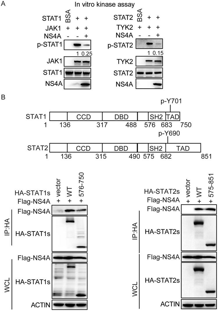 NS4A interacts with the SH2 and TAD domain of STAT1 or STAT2 to impair their phosphorylation. (A) In vitro kinase assay of STAT1 phosphorylated at Tyr701 (Y701) and STAT2 phosphorylated at Tyr690 (Y690). The peptide of STAT1 or STAT2 and their kinase JAK1 or TYK2 were introduced into a mixture containing Flag-NS4A. (B) Schematic representation of STAT1 or STAT2 (top). IB analysis of HEK293 T cells co-transfected for 48 h with Flag-NS4A and HA-wild-type STAT1 or STAT2, or their mutants, assessed with whole-cell lysates (10% input) or IP with anti-HA antibody (bottom). The numbers in A means the relative intensity of the p-STAT1/ STAT1 or p-STAT2/STAT2 detected by Western blotting. Data are representative of three independent experiments.