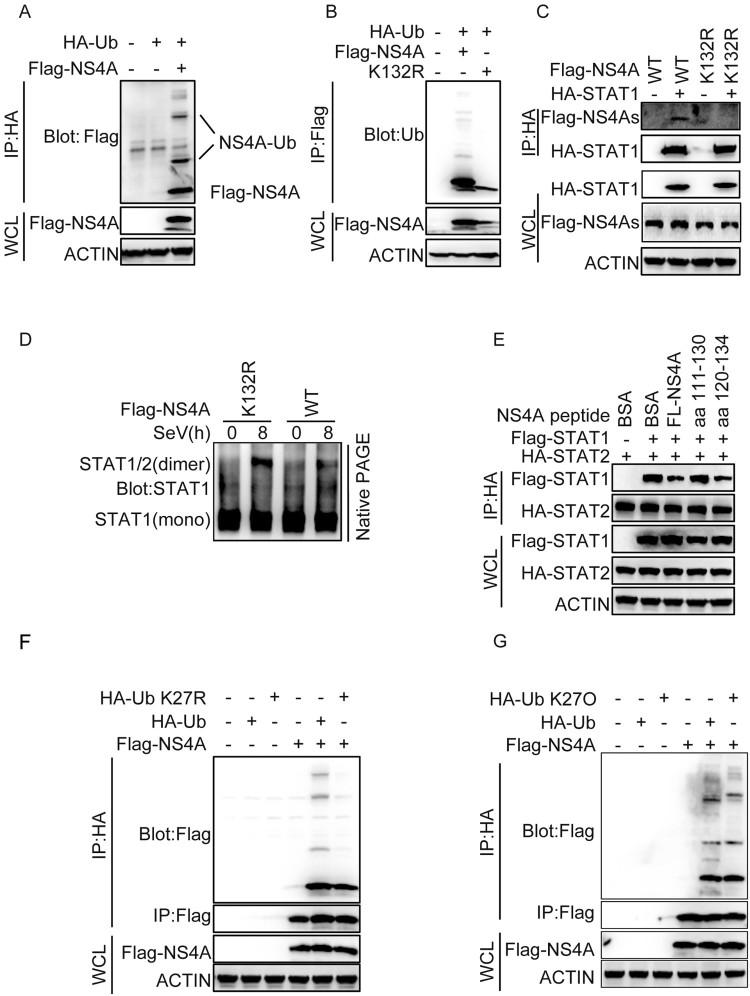 The ubiquitination of NS4A at Lys132 is important for the interaction of NS4A and STAT1. (A) HEK293 T cells (1 × 10 6 ) were transfected with the indicated plasmids. 24 h after transfection, ubiquitination assays and immunoblotting analysis were performed with the indicated antibodies. (B) Effect of K132R mutant on ubiquitination of NS4A. The experiments were performed as in A except that the indicated plasmids were used. (C) Effect of K132R mutant on the interaction of NS4A with STAT1. HEK293 T cells (1 × 10 6 ) transfected with the indicated plasmids (1 μg each) for 36 h followed by <t>co-immunoprecipitation</t> experiments and immunoblotting analysis with the indicated antibodies. (D) Effect of K132R mutant on the dimer of STAT1 and STAT2. The cells were performed as in C. The dimer of STAT1/2 was analysed by Native PAGE. (E) Effect of NS4A peptide on the interaction of STAT1 and STAT2. HEK293 T cells (1 × 10 6 ) were transfected with Flag-STAT1 and HA-STAT2. 48 h after transfection, the cells were lysed and then added the different peptides of NS4A, IP analyses the interaction of STAT1 with STAT2. (F G) Immunoblot analysis of the ubiquitination of NS4A in T98G cells co-transfected with HA-Ub, HA-Ub-K27R (F) or HA-Ub-K27O (G). Data are representative of three independent experiments.