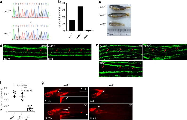 c x43 null zebrafish have reduced motile cilia in ECs. a Electropherograms of the target sequences of the cx43 gDNA in WT and cx43 −/− zebrafish. Arrow indicates the deletion of the T nucleotide. b Zebrafish ( n = 71) at 2 months post-fertilization (mpf) from mating of cx43 +/− zebrafish were genotyped for cx43 . c Images of 3 mpf zebrafish with the indicated cx43 genotype. d WT or cx43 −/− embryos at 2 dpf were immunostained with anti-acetylated-α-tubulin antibody, imaged with a confocal microscope and genotyped for cx43 . Arrowheads represent motile cilia. Dorsal view anterior to the left. Scale bar = 20 μm. e Larvae at 8 dpf from mating of cx43 +/− zebrafish were cut into cranial and caudal halves. The cranial half was used for cx43 genotyping, and the caudal half was coronally sectioned at a thickness of 14 μm and then processed for IF staining with anti-acetylated-α-tubulin antibody. Arrowheads represent motile cilia. Dorsal view anterior to the left. Scale bar = 30 μm. f Quantification of the number of cilia per frame in embryos in e . Mean ± SD. **** P
