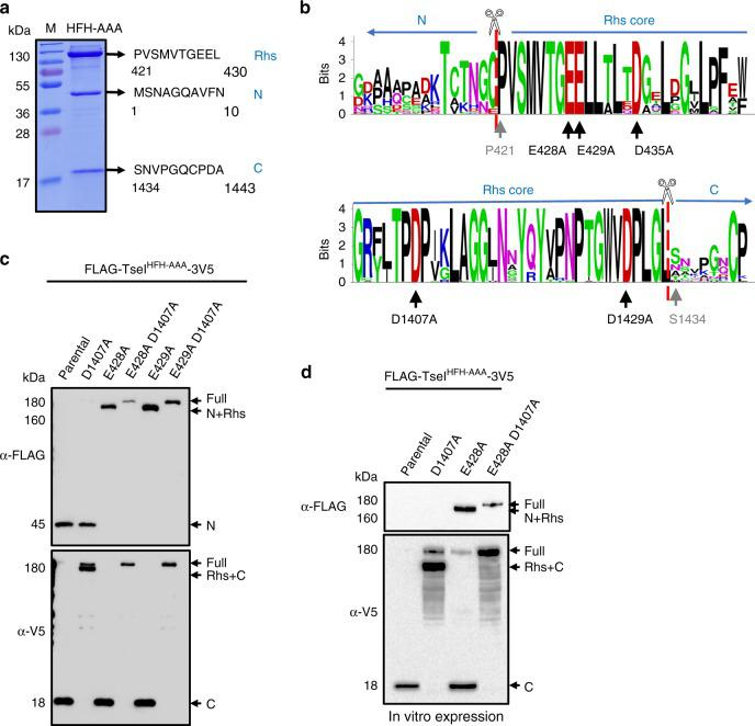 Characterization of TseI cleavage and key residues. a Cleavage sites determined by N-terminal sequencing. Each band was excised for N-terminal Edman sequencing as well as LC-MS/MS identification (see also Supplementary Fig. 3 A). b Weblogo depicting conserved residues of Rhs N-/C-terminal sequences deriving from sequence alignment of 48 representative Rhs homologs. Sequences are provided in Supplementary Data 1 . Black arrows indicate the predicted key activity residues that are mutated in this study while gray arrows indicate the first residue of Rhs and VIRC post cleavage, respectively. c Western blotting analysis of TseI and its cleavage-defective mutants. All constructs were cloned to pETDUET1 vectors with an N-terminal FLAG tag and a C-terminal 3V5 tag. Proteins were induced in E. coli with 0.01 mM IPTG. The nontoxic HFH-AAA TseI mutant is used as the parental construct. The same pETDUET1 constructs were also used for in vitro expression shown in d . In vitro expression was performed with a PURExpress ® In Vitro Protein Synthesis Kit following the manufacturer's instruction. Synthesized proteins were subject to SDS-PAGE analysis, followed by western blot analysis with anti-FLAG and anti-V5 antisera. Source data are provided as a Source Data file. Data in a , c , d are representative of at least two replications.