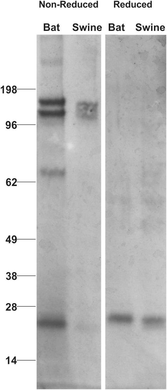 mAb BT1-4F10 cross-reacts with bat and swine Ig light chain . A 50% SAS precipitate of E. fuscus serum or purified swine IgG were resolved by SDS-PAGE and immunoblotted with mAB 4F10. Reduced and non-reduced samples were run on the same gel; lanes were cropped to remove irrelevant lanes.