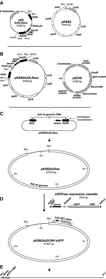 Generation of a BAC of E1-deleted Ad3 encoding the eGFP reporter gene. (A) The plasmid pBSAd3LRzeo contains a zeocin selection cassette flanked by a 468-bp fragment of the Ad3 left end sequence and a 528-bp fragment of the Ad3 right end sequence. (B) Transfer of the Not IB– Hin dIII fragment containing the Ad3LRzeo cassette to the single copy pKSB2 plasmid. (C) Transformation of <t>DH10B</t> bacteria expressing the phage lambda recombinases allows homologous recombination between the Sal I-linearized pKSB2Ad3LRzeo and Ad3 genomic DNA, resulting in pKSBAd3wt. (D) Subsequent homologous recombination between pKSBAd3wt and a CMV-eGFP/zeo cassette flanked by short homologous sequences of 40 bp results in pKSB2 Ad3CMV-eGFP, which contains the eGFP expression cassette in reverse orientation. (E) Release of the viral genome by the flanking unique Mlu I endonuclease sites followed by transfection of helper 911-Ad3E1B cells yielding Ad3CMV-eGFP. (For details of the procedure, see Materials and methods .)
