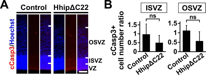 Inhibition of Shh signaling does not affect apoptosis in the germinal zone of the developing ferret cerebral cortex. pCAG-EGFP plus either pCAG-HhipΔC22 or pCAG control vector was electroporated at E33, and the brains were dissected at P1. ( A ) Sections were stained with anti-cleaved <t>caspase</t> 3 (cCasp3) antibody and Hoechst 33342. Scale bars = 100 μm. ( B ) Quantification of cCasp3-positive cells in the ISVZ and the OSVZ. The numbers of immunopositive cells on the electroporated side were divided by those on the non-electroporated side. The numbers of cCasp3-positive cells were not affected by HhipΔC22. n = 3 animals for each condition. Bars present mean ± SD. ns, not significant. Student's t -test.