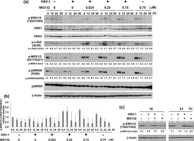 MG132 enhanced HSV-induced Raf-MEK-ERK-RSK cascade. ( a , b ) Effects of HSV-1 infection and MG132 treatment on ERK signaling. Vero cells infected with HSV-1 at an MOI of 1 or mock infected were cultured in media in the presence or absence MG132 for 0.4, 12, 24, or 36 hours. Whole-cell lysates were subjected to immunoblotting analysis with an anti-Thr202/Tyr204-phospho-ERK1/2, -ERK1, -ERK2, -Ser338-phospho-c-Raf, -Ser217/Ser221-phospho-MEK1/2, and –Ser380-phospho-p90RSK antibodies. The anti- Thr202/Tyr204 phospho-ERK1/2 antibody recognizes either Thr202- or Tyr204-phosphorylated ERK1 and also either Thr185- or Tyr187-phosphorylated ERK2. The values of p-c-Raf/β-actin, p-MEK/β-Actin and p-p90RSK/p90RSK are presented at the bottom of the image, and the values of 0.4 h nontreated and noninfected cells are presented as 1.0. ( b ) Densitometric analysis of the p-ERK1/2 in blotting data of ( a ). The quantitative analysis was performed using three separate membranes. The value of 0.4 h-nontreated and noninfected control was defined as 1.0. ( c ) Effects of HSV-1 infection and MG132 treatment on ERK signaling in human HepG2 cells. HepG2 cells infected with HSV-1 at an MOI of 1 and cultured with 0.75 μM MG132 for 18 and 21 hours. Cell lysates were subjected to immunoblotting using anti-Thr202/Tyr204 phospho-ERK1/2 antibody. The values of p-ERK1/2/β-Actin are presented at the bottom of the image, and the values of 18 h nontreated and noninfected cells are presented as 1. ( a , c ) Original images of blotting data are shown in Supplementary Fig. S5 .