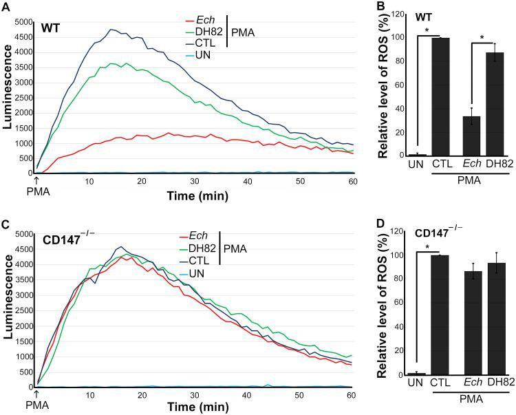 E. chaffeensis blocks PMA-induced ROS generation by WT BMDM but not by CD147 –/– BMDM. BMDM from WT mice (A and B) or CD147 –/– mice (C and D) were preincubated with luminol in HBSSd for 15 min and then incubated with E. chaffeensis ( Ech ) isolated from infected DH82 cells, DH82 cell lysate, or HBSSd (control [CTL]) at 37°C for 30 min. ROS generation was continuously recorded as the relative chemiluminescence of oxidized luminol after the addition of PMA (200 nM, indicated by arrows) (A and C). UN, unstimulated BMDM in HBSSd without PMA addition. The area under the curve was measured over 60 min after PMA addition and is shown relative to ROS generation in the control with PMA, which was considered 100% in panels B and D. Results represent the means plus standard deviations (SD) (error bars) from at least three independent experiments and were compared by Student's t test. Values that are significantly different ( P