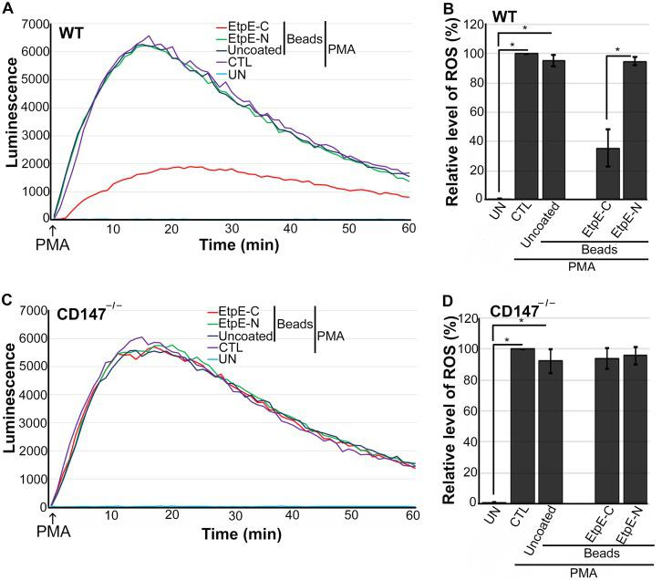 EtpE-C-coated beads block PMA-induced ROS generation by WT BMDM but not CD147 –/– BMDM. BMDM from WT mice (A and B) or CD147 –/– mice (C and D) were preincubated with <t>luminol</t> in HBSSd for 15 min and then incubated at 37°C for 30 min with beads coated with 40 ng of EtpE-C or EtpE-N or with uncoated beads or with HBSSd (control [CTL]). ROS generation was induced with PMA, recorded (A and C), and analyzed (B and D), and the results are presented as in Fig. 2 . UN, unstimulated BMDM in HBSSd without PMA addition. Results represent the means plus SD from at least three independent experiments and were compared by Student's t test. * , P