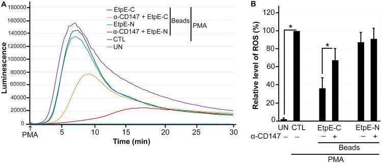 EtpE-C-coated beads do not block PMA-induced ROS generation in human monocytes pretreated with anti-CD147. Human monocytes were preincubated with luminol with or without 10 μg/ml anti-CD147 (α-CD147) for 30 min at 37°C and then incubated with beads coated with 40 ng of EtpE-C or EtpE-N (∼5 × 10 6 beads) or with HBSSd (control [CTL]) at 37°C for 30 min. ROS generation was continuously recorded as the relative chemiluminescence of oxidized luminol after the addition of PMA (200 nM, indicated by arrows) (A). UN, unstimulated human monocytes in HBSSd without PMA addition. The area under the curve was measured over 30 min after PMA addition and is shown relative to ROS generation in the control with PMA, which was considered 100% in panel B. Results represent the means plus SD from at least three independent experiments and were compared by Student's t test. * , P
