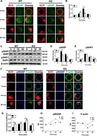 STING deficiency down-regulates the activation of negative BCR signaling molecule, SHIP, and up-regulates the actin polymerization via enhancing the activation of WASP. Confocal analysis of splenic B cells from WT and KO mice labeled with AF546-mB-Fab-anti-Ig and then incubated without or with streptavidin for activation. Cells were fixed, permeabilized, and stained with Abs specific for pSHIP, pWASP, and F-actin ( A and F ). Splenic B cells from WT and Sting KO mice were activated with biotin-conjugated F(ab') 2 anti-mouse Ig(M + G) plus streptavidin for indicated times. Cell lysates were analyzed using SDS-PAGE and Western blot and probed for pSHIP/SHIP, pSHP1/SHP1 ( C ). Total protein or β-actin was used as controls. Shown are representative images, blots, and the correlation coefficients between the labeled BCR and pSHIP ( B ), pWASP ( G ), as well as the relative intensity of bands from immunoblots ( D and E ) taken from three independent experiments. Splenic B cells were labeled with anti-B220 and stimulated with sAg for indicated times and then stained with phalloidin and antibody specific for pWASP for phos flow cytometry. MFI of pWASP and F-actin in B cells was quantified using FlowJo software ( H and I ). Shown are levels of pWASP and F-actin from one of three independent experiments. Scale bars, 2.5 μm. * P