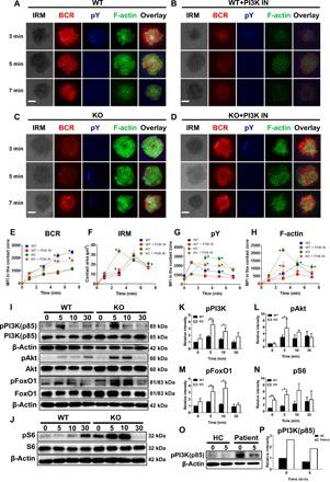 PI3K inhibition rescues the abnormal accumulation of F-actin in Sting KO B cells. Splenic B cells from WT and Sting KO mice, pretreated with or without PI3K inhibitor, were incubated with AF546-mB-Fab-anti-Ig tethered to lipid bilayers with varying lengths of time and then fixed, permeabilized, and stained with antibodies specific for pY and F-actin. Cells were analyzed using TIRFm. Shown are representative images ( A to D ), the average values of the B cell contact area ( F ), and the MFI of the pY ( G ), BCR ( E ), and F-actin ( H ) in the contact zone. Scale bars, 2.5 μm. Splenic B cells from WT and Sting KO mice were activated with biotin-conjugated F(ab') 2 anti-mouse Ig(M + G) plus streptavidin for indicated times. Cell lysates were analyzed using SDS-PAGE and Western blot and probed for pPI3K (p85)/PI3K (p85), pAtk/Akt, pS6/S6 ( I ), and pFoxO-1/FoxO-1 ( J ). Total protein or β-actin was used as controls. Shown are representative blots from three independent experiments and blots' relative intensity ( K to N ). Western blot analysis the level of pPI3K in purified B cells from PBMCs of the healthy control and STING mutant patient ( O and P ). * P