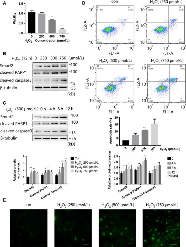 H 2 O 2 increased the expression of Smurf2 and apoptosis‐related proteins and decreases the viability of HUVEC. A, HUVEC was treated with H 2 O 2 at the concentrations of 0, 250, 500 and 750 μmol/L for 12 h, and cell viability was determined by CCK8 assay. B, HUVEC was treated with H 2 O 2 at the concentrations of 0, 250, 500 and 750 μmol/L for 12 h, and the expression of Smurf2, cleaved PARP1 and cleaved caspase3 was analysed by Western blot. β‐ tubulin was used as a loading control. *** P