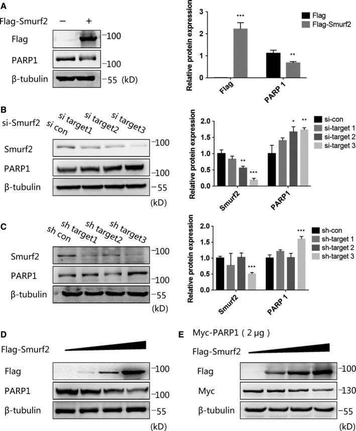 Smurf2 can affect the stability of PARP1. A, Transfection of 293T cells with Flag‐Smurf2 for 48 h, overexpression of Smurf2 can reduce the expression of endogenous PARP1 by Western blot. β‐tubulin was used as a loading control. *** P