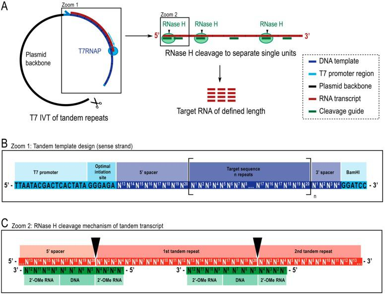 Schematic representation of the reported protocol. ( A ): (left) Tandem transcription from a linearized plasmid template with T7 RNA polymerase (T7RNAP) and (right) successive cleavage of the transcript to target length RNA by RNase H, directed by a chimeric DNA guide. ( B ): Detailed schematic of the tandem template, which starts with the viral T7RNAP promoter, an initiation sequence. The target sequence (dark blue, example here is 20 nt length) is repeated n number of times. The repeats flanked by a 5′- and 3′-spacer sequences consisting of the last eight and first four nucleotides respectively to allow for removal of the initiation and restriction sequences from the first and last repeat unit. ( C ): Hybridization of the tandem transcript (red) and the chimeric cleavage guides (green). RNase H cleaves the RNA opposite the DNA 5′-end. The 2′-OMe RNA flanks increase specificity by enhancing the binding affinity of cleavage guide to the target RNA.
