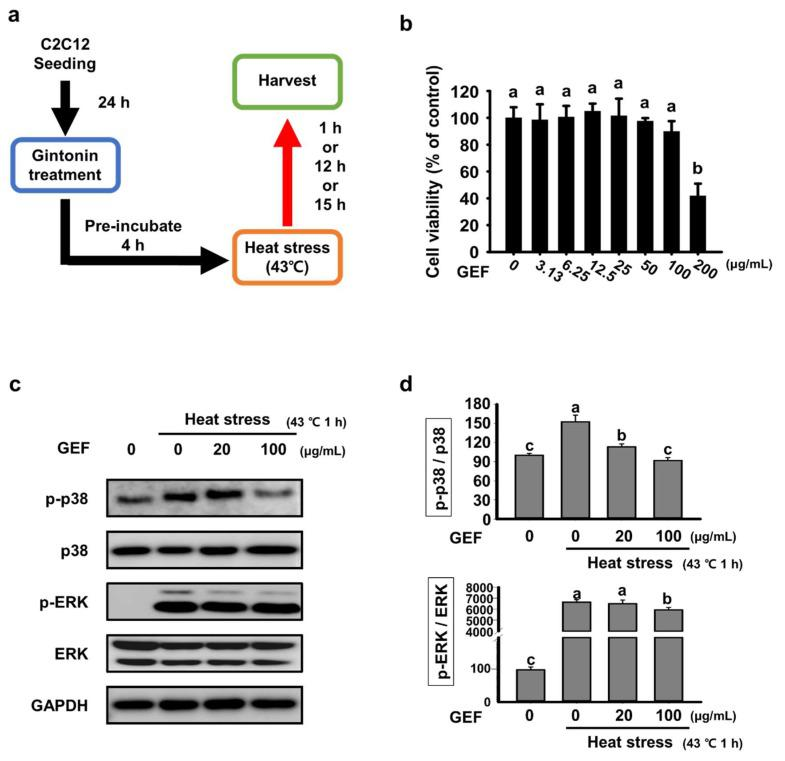 Effects of gintonin-enriched fraction (GEF) on cell viability and expression of MAPK signaling factors in C2C12 cells under heat-exposed conditions ( a ) Cells were seeded and treated with GEF (20 or 100 μg/mL). After 4 h of pre-incubation, the cells were incubated at 43 °C to induce heat stress; ( b ) Cell viability was measured by thiazolyl blue tetrazolium bromide (MTT) assay in a dose-dependent manner; ( c ) Analysis of p-p38 and p-ERK expression by western blot; ( d ) The density of p-p38 and p-ERK was quantified and expressed as a bar graph. Values labeled with different letters are significantly different ( p