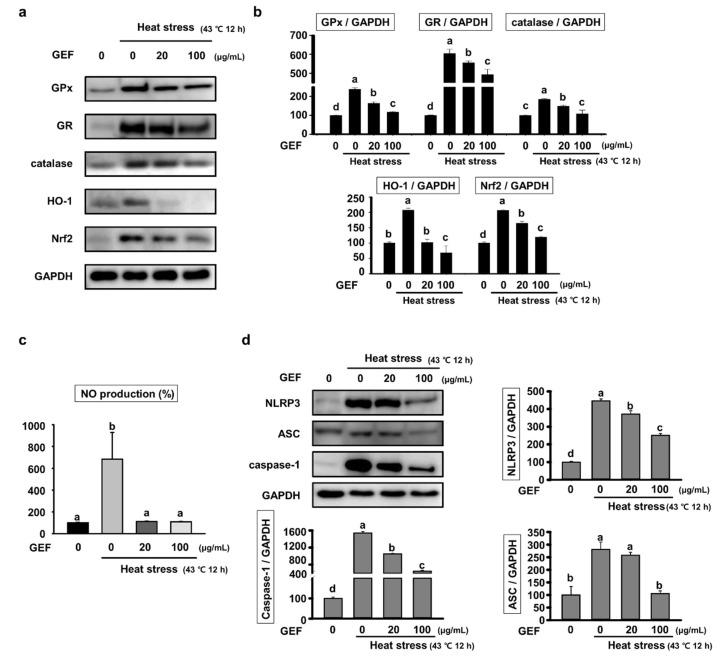 Expression of oxidative stress–related proteins and NLRP3 inflammasome in C2C12 cells under heat-exposed conditions; ( a ) analysis of glutathione peroxidase (GPx), glutathione reductase (GR), catalase, HO-1 and Nuclear factor erythroid-2-related factor 2 (Nrf2) expression by western blot; ( b ) the density of GPx, GR, catalase, HO-1 and Nrf2 versus glyceraldehyde 3-phosphate dehydrogenase (GAPDH) was quantified and expressed as a bar graph, respectively; ( c ) the level of NO in the culture media in C2C12 cells pretreated with GEF (0, 20, 100 µg/mL) for 4 h and heat stress for 12 h was estimated using Griess reagent; ( d ) Expression of proteins related to inflammation, including NLRP3, Apoptosis-associated speck-like protein containing a CARD (ASC) and caspase-1 analyzed by Western blot. The density of NLRP3, ASC and caspase-1 versus GAPDH was quantified and expressed as a bar graph, respectively. Values labeled with different letters are significantly different ( p