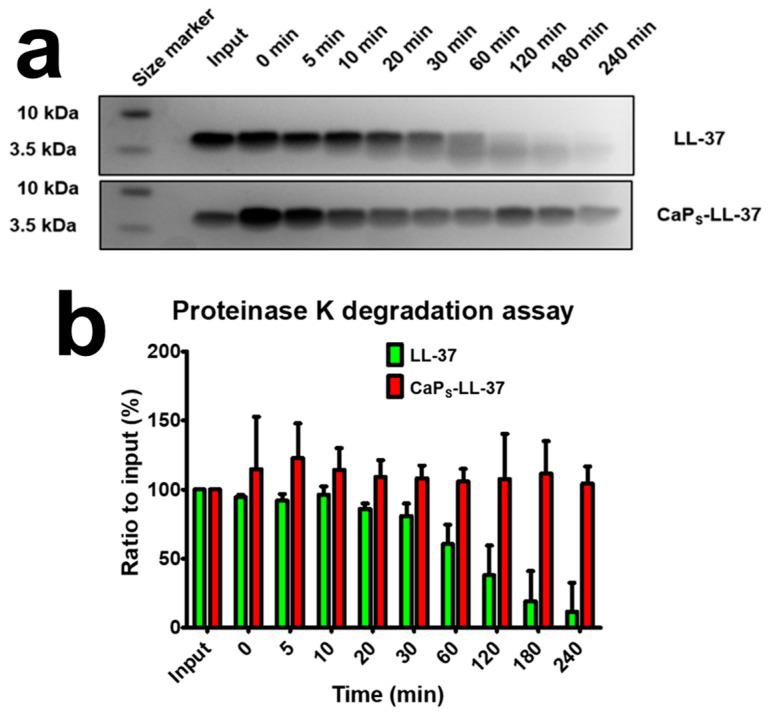 Proteinase K degradation assay of LL-37 in 20 mM Tris-HCl, pH 8.0 with a total of 20 ng Proteinase K. ( a ) Representative Sodium Dodecyl Sulfate–Polyacrylamide Gel Electrophoresis (SDS-PAGE) gels before and after proteolytic degradation of pure LL-37 and LL-37-loaded on CaP S nanoparticles. A clear LL-37 band can be seen at a size of 4.5 kDa which starts degrading steadily after 20 min incubation, however, when loaded on CaP S , the LL-37 resists degradation up until 240 min incubation. Input is the pure LL-37 or LL-37-loaded on CaP S nanoparticles (CaP S -LL-37) without any proteinase K added. Gel pictures shown are representative of at least three repetitions; ( b ) Quantification of bands for numerical assessment of degradation. Error bars are shown as standard deviation (N = 3).