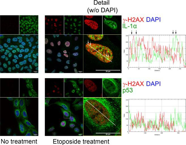 Etoposide did not induce colocalization of IL-1α and γ-H2AX in the nucleus of U2OS cells. Cells were treated with etoposide (10 µg/ml, 2 hours) or left untreated. Upper panels show staining for endogenous γ-H2AX (red) and IL-1α (green); lower panels demonstrate staining for endogenous γ-H2AX (red) and p53 (green). Nuclei were stained with DAPI. The intensity profiles show the fluorescence intensity of both labeled proteins in the regions delineated by white lines. Etoposide increases relocalization of IL-1α into cell nuclei and induces formation of both IL-1α and γ-H2AX foci. Arrows above the white line in the γ–H2AX and IL-1α merge image and above the corresponding intensity profile show larger IL-1α foci depleted of the γ-H2AX signal. Images were captured with a Leica SP8 confocal microscope. Scale bars represent 20 µm.
