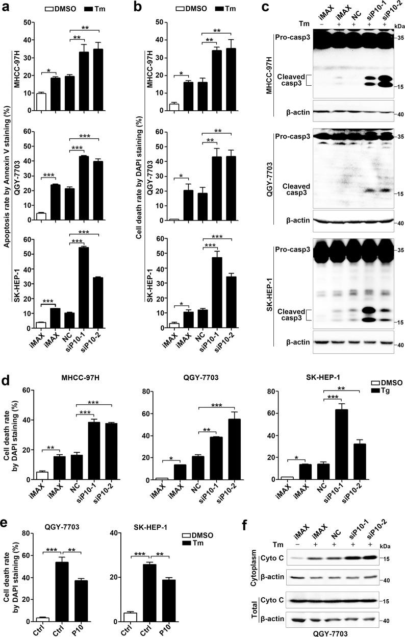 GOLGA2P10 confers tumor cells with resistance to ER stress-induced apoptosis. a – c Silencing of GOLGA2P10 sensitized hepatoma cells to tunicamycin-induced apoptosis. Tumor cells transfected with the indicated RNA duplexes were treated with DMSO or tunicamycin for 48 (MHCC-97H), 28 (QGY-7703), or 52 h (SK-HEP-1), followed by Annexin V/PI staining and flow cytometry analysis ( a ), DAPI staining and nuclear morphological examination ( b ), or Western blotting analysis for active casepase-3 ( c ). d Inhibition of GOLGA2P10 sensitized hepatoma cells to thapsigargin-induced cell death. Hepatoma cells transfected with the indicated RNA duplexes were treated with DMSO or thapsigargin for 48 (MHCC-97H), 28 (QGY-7703), or 52 h (SK-HEP-1), followed by DAPI staining and nuclear morphological examination. e Ectopic expression of GOLGA2P10 attenuated tunicamycin-induced cell death. Hepatoma cells with stable overexpression of GOLGA2P10 (P10) or control (Ctrl) vector were treated with DMSO or tunicamycin for 36 (QGY-7703) or 60 h (SK-HEP-1) before DAPI staining. f GOLGA2P10 knockdown promoted the release of cytochrome C from mitochondria to the cytosol. QGY-7703 cells transfected with the indicated RNA duplexes were incubated with DMSO (−) or tunicamycin (+) for 28 h, followed by Western blotting analysis for cytochrome C (Cyto C) levels in the cytoplasm and in the whole cell extract. β-actin was used as an internal control. iMAX, cells exposed to Lipofectamine RNAiMAX but not RNA duplexes. NC, negative control for siRNAs. siP10-1 and siP10-2, siRNAs targeting different regions of GOLGA2P10. For a , b , d , e , data are shown as mean ± SEM of three independent experiments. For Western blotting in c , f , two independent experiments were performed with similar results. * P