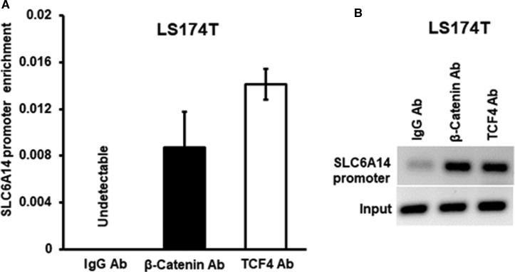 Binding of <t>β-catenin</t> and TCF4 to human SLC6A14 promoter. Quantitative RT-PCR ( A ) and regular RT-PCR ( B ) for the region of SLC6A14 promoter with the binding motifs for β-catenin and TCF4 using the ChIP assay. Chromatin complexes from LS174T cells were immunoprecipitated using <t>IgG</t> (negative control) or antibodies specific for β-catenin and TCF4. Enrichment of SLC6A14 promoter was normalized with the starting amount of DNA (input).