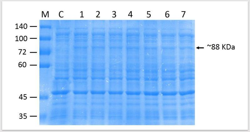 SDS-PAGE gel showing protein expression of Vip3 . Lane 1–7: Total protein extracted from induced colonies at 16 h post-inoculation. C: Negative control of <t>Bl21</t> (DE3) transformed using P QE-30 alone. M: Page Ruler Protein ladder. The arrow shows the putative vegetative insecticidal protein (VIP3) of ~88 kDa.