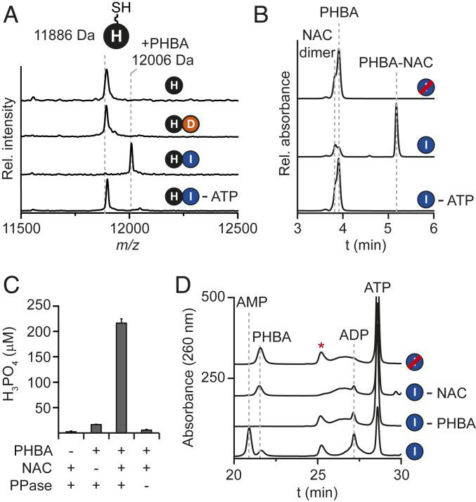 CtaI loads PHBA onto holo -CtaH. ( A ) MALDI-TOF spectral overlay of holo -CtaH loading reactions performed with PHBA and either CtaI or CtaD. The expected average masses of holo -CtaH and PHBA-S-CtaH are indicated. ( B ) HPLC absorbance profiles (250 nm) of reactions performed with NAC, PHBA, and CtaI. ( C ) Quantification of ATP hydrolysis products using a malachite green assay. Error bars represent the SD from the mean ( n = 3). PPase, inorganic pyrophosphatase. ( D ) HPLC profiles of CtaI reactions with NAC. Red strikethrough indicates heat-inactivated enzyme; red asterisk, NAC-specific peak.