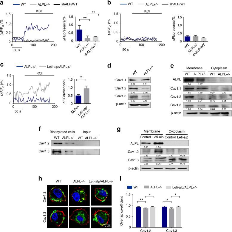 ALPL deficiency caused decreased membrane expression of L-type Ca 2+ channels in BMSCs. a Ca 2+ imaging showed decreased Ca 2+ influx in cultured alpl +/− BMSCs and WT BMSCs transfected with shALP (shALP/WT) after they were stimulated with 30 mmol·L −1 KCl for 3 min ( n = 10). b No KCl-induced Ca 2+ influx was detected in cultured WT, alpl +/− , and shALP/WT BMSCs treated with 10 mmol·L −1 EGTA for 3 min ( n = 10). c ALPL overexpression was mediated by a lentivirus in alpl +/− (Lenti-alp/ alpl +/− ) BMSCs and resulted in an elevated Ca 2+ influx following stimulation with 30 mmol·L −1 KCl for 3 min ( n = 10). d , e The expression of Ca V 1.1, Ca V 1.2, and Ca V 1.3 was assessed. alpl +/− BMSCs showed decreases in total cell expression ( d ) and membrane expression of Ca V 1.2 and Ca V 1.3 ( e ) and no significant change in the levels of cytoplasmic Ca V 1.2 and Ca V 1.3 ( e ). Total Ca V 1.1 protein expression was not changed ( d ), and the expression of membrane and cytoplasmic Ca V 1.1 was not altered in alpl +/− BMSCs ( e ). f Cell-surface biotinylation assay. Left two lanes: western blot for Ca V 1.2 and Ca V 1.3 following neutravidin pull down from WT and alpl +/− BMSCs; right two lanes: input, not biotinylated cells. g Lenti-alp/ alpl +/− BMSCs showed elevated membrane expression of ALP, Ca V 1.2, and Ca V 1.3. h , i Representative images of confocal laser scanning microscopy showing the membrane location of Ca V 1.2 and Ca V 1.3 (green) in WT and Lenti-alp/ alpl +/− BMSCs. The plasma membrane was stained with the marker CellMask™ Deep Red Plasma Membrane Stain (red) ( h ). Quantification of the membrane florescence was performed with NIH ImageJ ( i ). Scale bar, 10 μm. The representative results from three independent experiments are shown. Error bars represent the s.d. from the mean values. * P