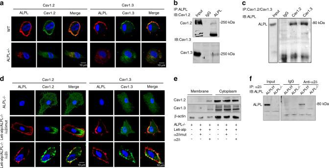 ALPL deficiency promoted the internalization of L-type Ca 2+ channels via binding to α2δ subunits. a Representative images of confocal laser scanning microscopy showing a region of membrane colocalization for ALPL (DsRed) and Ca V 1.2 (FITC-labeled) or Ca V 1.3 (FITC-labeled) in WT BMSCs. No region of membrane colocalization was found in alpl +/− BMSCs. Scale bar, 10 μm. b ALPL immunoprecipitated Ca V 1.2 and Ca V 1.3. The left lane shows the expression of Ca V 1.2 and Ca V 1.3, and the right lane shows the levels of Ca V 1.2 and Ca V 1.3 following immunoprecipitation with an anti-ALPL antibody. c Ca V 1.2 and Ca V 1.3 immunoprecipitated ALPL. The left panel shows the expression of ALPL, and the right panel shows the level of ALPL following immunoprecipitation with anti-Ca V 1.2 or anti-Ca V 1.3 antibodies. d Representative images of confocal laser scanning microscopy showing the membrane colocalization region of ALPL (Cy3-labeled) and Ca V 1.2 (FITC-labeled) or Ca V 1.3 (FITC-labeled) in alpl −/− BMSCs overexpressing ALPL and the α2δ subunit. No membrane colocalization region was found in alpl −/− BMSCs and alpl −/− BMSCs overexpressing ALPL or the mutant α2δ subunit. Scale bar, 10 μm. e Western blot analysis showed membrane expression of Ca V 1.2 or Ca V 1.3 in alpl −/− BMSCs overexpressing ALPL and the α2δ subunit. No membrane expression of Ca V 1.2 or Ca V 1.3 was found in alpl −/− BMSCs and alpl −/− BMSCs overexpressing ALPL or the mutant α2δ subunit. No significant change in cytoplasmic Ca V 1.2 or Ca V 1.3 was found in alpl −/− BMSCs, alpl −/− BMSCs overexpressing ALPL and the mutant α2δ subunit, or alpl −/− BMSCs overexpressing ALPL and the α2δ subunit. f α2δ immunoprecipitated ALPL. The left panel shows the expression of ALPL, and the right panel shows the level of ALPL following immunoprecipitation with an anti-α2δ antibody in alp/ f/f and alpl −/− BMSCs. β-actin was used as a protein loading control. The representative results from three independent exper