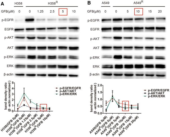 Gefitinib (GFB) inhibited EGFR/AKT/ERK phosphorylation in H358 R and A549 R cells. a Detected EGFR/AKT/ERK phosphorylation levels after 48 h of gefitinib (GFB) at different intervention concentrations by western blot. The minimum concentration of gefitinib (GFB) inhibiting p-EGFR, p-AKT, p-ERK in H358 R is 5 μM. b Similarly, 10 μM gefitinib (GFB) could simultaneously inhibit p-EGFR, p-AKT, p-ERK in A549 R cells