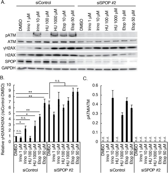 Increased level of γH2AX by depletion of SPOP was not enhanced by topoisomerase inhibitors and hydroxyurea. (A) Western blots of cell lysates prepared from control or SPOP-knockdown C4-2 cells incubated with inhibitors of DNA repair. Cells were treated with irinotecan (Irino), hydroxyurea (HU), or etoposide (Etop) at the indicated concentrations in 10% FBS–containing medium for 24 h. (B) Quantitation of A. The ratio of γH2AX/H2AX was analyzed from three independent experiments. Data show the mean ± SEM. *, p