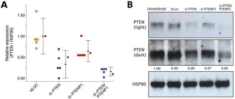 PTENP1 abundance in DU145 cells expressing PTEN 3'UTR. DU145 cells were transfected with either a vector control plasmid (pCMV) or a plasmid to express PTEN 3'UTR (pCMV- PTEN ), or not transfected. Total RNA was isolated 24 hr later and qRT-PCR analysis was performed to detect PTENP1 and ß-ACTIN levels. Fold change in PTENP1 expression ( PTENP1 / ß-ACTIN ) is presented for each condition relative to pCMV transfected cells. Means reported and error bars represent SD from three independent biological repeats. Unpaired two-tailed Student's t test between pCMV and pCMV- PTEN: t (4) = 0.46, p =0.671. Additional details for this experiment can be found at https://osf.io/rkuxh/ .