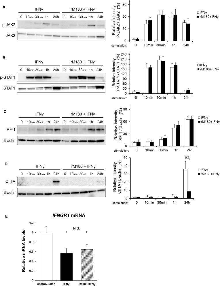 rM180 downregulates the IFNγ-induced expression of CIITA molecules in THP-1 cells. THP-1 cells were incubated with rM180 for 24 h, washed, and serum-starved for 24 h. After stimulation by IFNγ for the indicated times, whole cell lysates prepared from THP-1 cells were immunoblotted with various antibodies. β-actin was used as a control. Protein expression was quantified using the ImageJ program. Representative western blots of phosphorylated (A) JAK2 and (B) STAT1, and total (C) IFN regulatory factor-1 (IRF-1) and (D) class II transactivator (CIITA). Quantification of phosphorylated protein levels relative to total protein and total IRF-1 and CIITA protein levels relative to β-actin was carried out using ImageJ. The significance of differences between groups was determined by a two-tailed unpaired Student's test; ** P