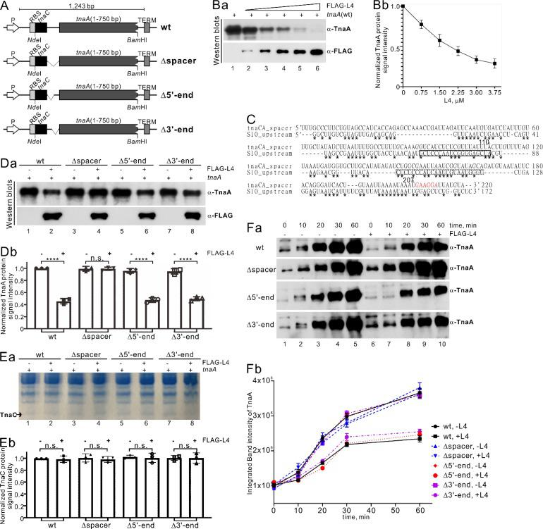 L4 downregulates TnaA but not TnaC protein synthesis in an in vitro transcription/translation assay. (A) Schematic representation of a synthetic tna operon for in vitro transcription and translation with the PURExpress in vitro protein synthesis kit (New England BioLabs, UK). The upstream T7 promoter (P), ribosome binding site (RBS), NdeI and BamHI cloning sites, and the T7 terminator (TERM) downstream of the stop codon are indicated, respectively. Internal deletion variants (indicated by Δspacer, Δ5′-end, and Δ3′-end) of the tnaC-tnaA spacer in the synthetic tna operon were generated as described in the Materials and Methods and further used for in vitro transcription/translation in the absence and presence of FLAG-L4. (B) L4 downregulates TnaA protein synthesis. Shown are Western blot analysis (a) and quantitative data (b) for TnaA protein produced from the wild-type (wt) synthetic tna operon and FLAG-L4 upon detection by TnaA polyclonal antibody (α-TnaA) or FLAG peptide monoclonal antibody (α-FLAG) on 10% SDS-PAGE. (a) Increasing concentrations of FLAG-L4 (0.75, 1.5, 2.25, 3, and 3.75 μM, lanes 2 to 6) inhibited TnaA translation. Lane 1 shows the reaction control (without FLAG-L4). (C) Comparison of RNA sequences of tnaC-tnaA spacer (220 nt) and S10 upstream regions (172 nt) by means of a CLUSTAL O (1.2.4) multiple sequence alignment ( 27 ). Solid and dotted lines box nucleotides involved in RNA binding of L4 with S10 UTR to regulate transcription and both transcription and translation, respectively ( 11 , 53 , 57 ). Asterisks indicate identical nucleotides. The Shine-Dalgarno (SD) sequence of TnaA is shown in red. (D to F) The inhibitory effect of L4 on the synthesis of TnaA but not TnaC by the synthetic tna operon. Shown are Western blots of TnaA (Da) and a 15% Bis-Tris polyacrylamide gel (Ea) of TnaC produced from the wt and various deletion constructs (see panel A) of the synthetic tna operon in the absence of L4 (lanes 1, 3, 5, and 7) compared with a positiv