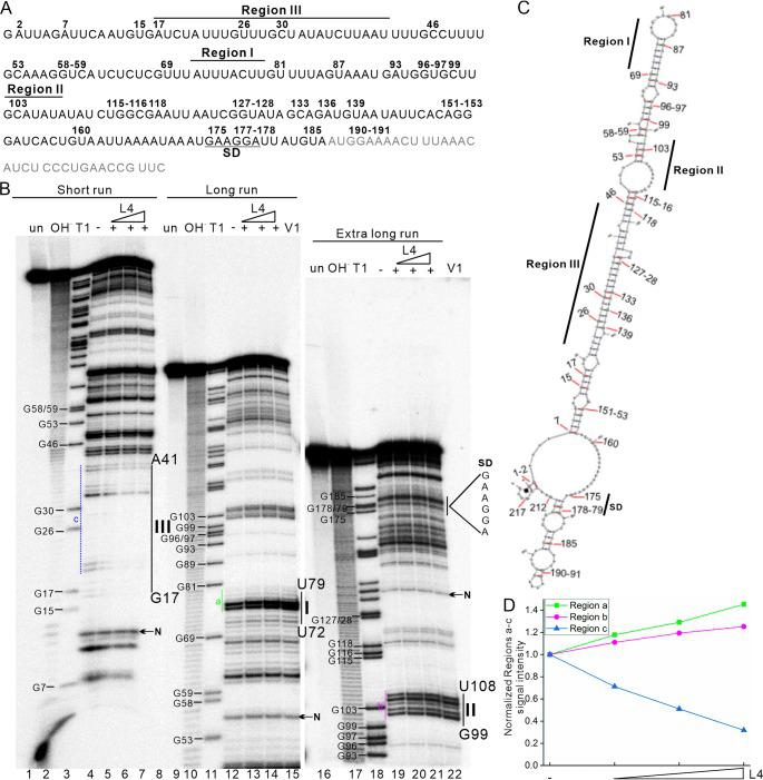 Structural probing of the 5′-end-labeled tnaC-tnaA transcribed spacer in the absence and presence of FLAG-L4. (A) DNA template (239 bp) containing the tnaC-tnaA spacer was transcribed under the T7 promoter to generate a 220 nt final RNA product. The sequence of the final 220-nt RNA product (with addition of a G at the 5′ end by RNA polymerase during in vitro transcription) is shown. The Shine-Dalgarno (SD) sequence of TnaA is underlined. Affected regions I, II, and III in the footprint determination are indicated in the primary sequence. The numbers at the top of the primary sequence represent the RNase T1 cleavage sites between guanosine 3′-phosphate residues and the 5′-OH residues of adjacent nucleotides, as shown in panel B (lanes 3, 11 and 18). The gray font in the primary sequence from the 3′ end shows the beginning of the coding sequence for TnaA. (B) The RNA was further 5′ end labeled with [γ- 32 P]ATP and purified from the denatured acrylamide gel. The 5′-end-labeled RNA (30,000 cpm, ∼2 ng) was then incubated at room temperature in the absence (−) or presence (+) of L4 (5.5 μM) for binding, before conducting RNase V1 digestion (double strand-specific cleavage; lanes 5 to 7, 13 to 15, and 20 to 22) and separation on an 8% polyacrylamide–8 M urea gel. The 5′-end-labeled RNA fragments generated by alkaline and RNase T1 hydrolysis (OH and T1, respectively) are shown. The experiments were carried out on untreated RNA (un) or in the presence of increasing concentrations of purified FLAG-L4. Regions I, II, and III affected by L4 in the footprint determination are indicated (also in panel C). Regions a, b, and c used for quantification are indicated with colored lines. Bands (N) used for normalization of the phosphor image signals of regions a, b, and c are indicated. (C) The 220 nt RNA secondary structure predicted by RNAfold ( 56 ) (dG = −44.05). (D) Quantification of regions a, b, and c affected by L4 in the footprint determination.