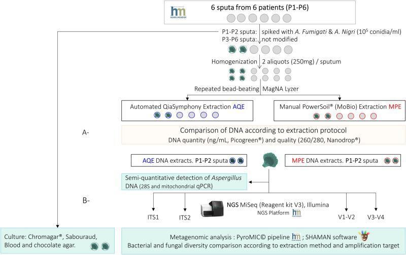 Workflow of the study. A- Comparison of two DNA extraction protocols (automated QIAsymphony extraction [AQE] using DSP DNA midi kit and manual PowerSoil® MoBio extraction [MPE]) in terms of quantity and quality of DNA extracted from 6 sputa (6 patients, P1, P2, P3, P4, P5, P6). B- Comparison of bacterial and fungal diversity detected in two sputa (2 patients, P1, P2) spiked with 10 5 conidia of Aspergillus section Fumigati and Aspergillus section Nigri using (i) culture method and (ii) 16S/ITS targeted amplicon sequencing (DNA extracted using AQE or MPE protocols; amplification targets V1-V2 and V3-V4 16S for bacteria, and ITS2 and ITS2 for fungi; MiSeq® Illumina, 2x300 v3 kit).