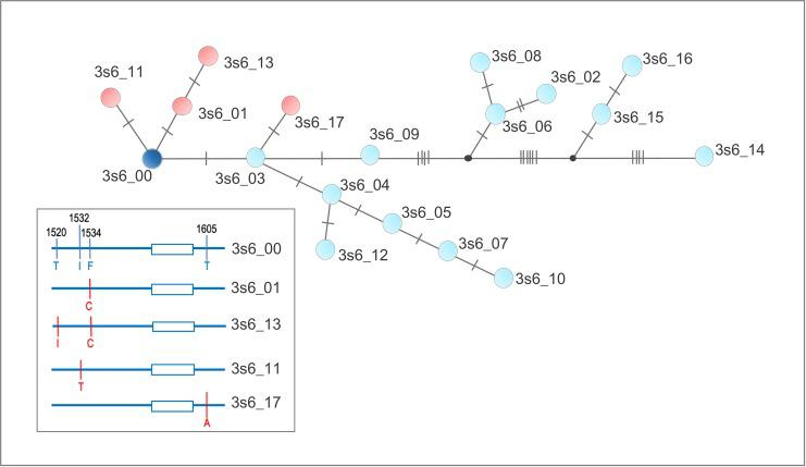 Haplotype Network of the IIIS6 segment of the voltage gated sodium channel gene of Aedes aegypti populations from diverse continents. The network is the genealogy calculated by the TCS method [ 21 ]. Each dot represents a haplotype, connected by lines in which each slash indicates a mutational step between connected haplotypes. Red and blue dots indicate synonymous and non-synonymous substitutions, respectively. The most common haplotype 3s6_00 is in dark blue. A schematic representation with haplotypes containing non-synonymous SNPs is in the box, with SNPs in red.