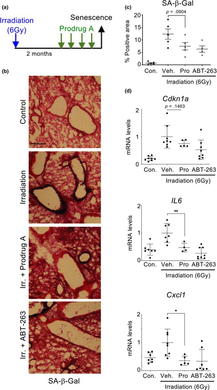 Prodrug A reduces the numbers of senescent cells accumulating after whole‐body irradiation. (a) Experimental design of the whole‐body irradiation‐induced senescence experiment. Mice ( n = 4/5 per group) were irradiated with 6 Gray to induce senescence. Two months later, mice were treated with vehicle, prodrug A (JHB75B) or ABT‐263 for 4 consecutive days, before being culled for analysis. (b, c) Representative pictures of lung cryosections (b) and quantification of the lung area positive for SA‐β‐Gal staining (c). (d) Expression levels of Cdkn1a , Il6 and Cxcl1 in lungs of nonirradiated mice or irradiated mice treated with prodrug A, ABT‐263 or vehicle. Statistical significance was calculated using unpaired Student's t test. Data represent mean ± SD ; n represents number of mice; ns, not significant; * p