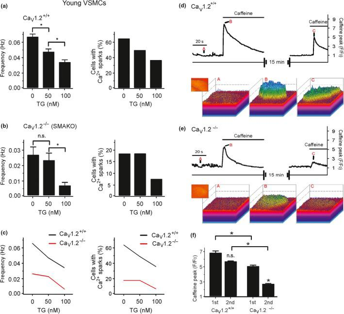 Role of luminal SR calcium on T‐type Ca V 3.2‐RyR axis. Effects of different concentrations of thapsigargin on Ca 2+ spark frequency (a, left) and fraction of cells producing Ca 2+ sparks (a, right) in Ca v 1.2 +/+ VSMCs from young mice. Effects of different concentrations of thapsigargin on Ca 2+ spark frequency (b, left) and fraction of cells producing Ca 2+ sparks (b, right) in VSMCs from Ca v 1.2 −/− (SMAKO) mice. (c), overlay of the data for Ca 2+ spark frequency (left) and fraction of cells producing Ca 2+ sparks (right). Cells were isolated from 4 mice in each group; 30–35 cells were recorded and analyzed from each mouse. (d), time course of Ca 2+ fluorescence changes in the cellular ROI in a wild‐type (Ca V 1.2 +/+ ) Fluo‐4‐AM–loaded VSMC induced by 10 mM caffeine (upper panel) and Ca 2+ fluorescence plots (lower panel). (e), the same as (d), but in Ca V 1.2 −/− VSMC. (f), summary of the 10 mM caffeine‐induced Ca 2+ peaks in wild‐type versus Ca V 1.2 −/− VSMCs. n = 7 cells from 3 mice, 2–3 cells were recorded and analyzed from each mouse. *, p