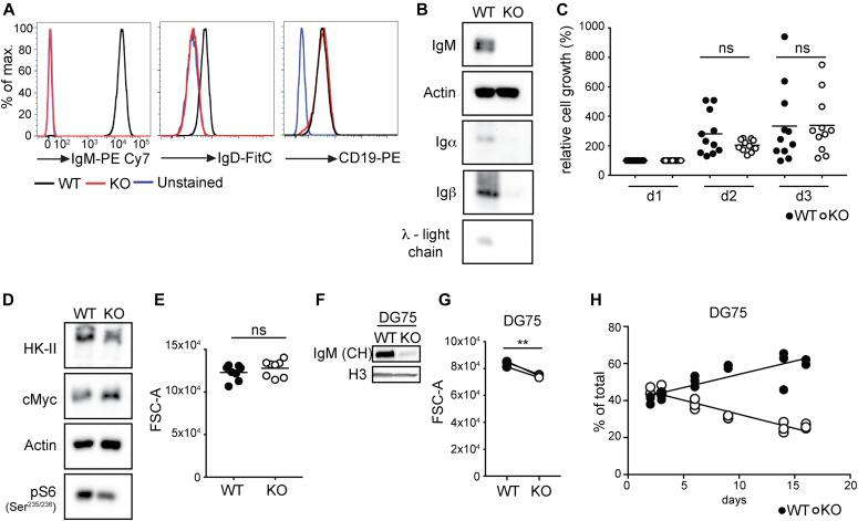 BCR expression boosts B lymphoma fitness but is not absolutely required for survival. (A) Cells were stained with anti-IgM and anti-IgD to examine cell surface expression of the BCR. Anti-CD19 was used as a control. (B) Expression of the μ-heavy chain, λ-light chain, Igα, and Igβ were determined by Western blot. One of three independent experiments is shown. (C) The cells were plated on d0 and cell numbers were assessed on d1, d2, and d3 using the CCK8-kit. Values were normalized to the measurement obtained on d1. Significance was determined using the ANOVA test. (D) Expression of the indicated proteins was determined by Western blot. One of four independent experiments is shown. (E) Forward scatter (FSC-A) as a measure of cell size was determined using flow cytometry. Significance was determined using the Mann–Whitney test. N = 8. (F) Biological triplicates of Ig heavy chain–deficient DG75 cells were sorted on d3 upon Ig heavy chain deletion and pooled for analysis. Expression of the Ig heavy chain (antibody directed against the CH domain) and histone 3 (H3) was determined by Western blot. One of two independent experiments is shown. (G) Cell size measured on d6 after Ig heavy chain deletion. Significance was determined using the paired t test. N = 3; ** P = 0.0074. (H) Relative abundance of WT and H-KO DG75 cells in a mixed culture at the indicated time points after Ig heavy chain deletion. Linear regression analysis was performed. Slopes of the WT and KO abundance lines were found to be significantly different. P
