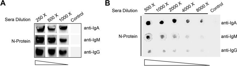 Antigenicity of the N antigen Western Blot (A) and Dot Blot (B) analysis of specific <t>IgA,</t> IgM, <t>IgG</t> antibodies against the N -protein after incubated with different dilution of COVID-19 recovering patients' serum pool using anti-human IgA-Fc/IgM-μ chain/IgG-Fc secondary antibodies, respectively.