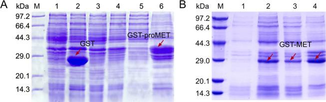 (A) Expression of proMET in E. coli BL21/pGEX-proMET. M, Protein Molecular Weight Marker (Low); Lane 1, total proteins of E. coli BL21/pGEX-6p-1 before induction; Lanes 2 and 3, soluble and insoluble proteins of E. coli BL21/pGEX-6p-1 after induction by 0.1 mM IPTG; Lanes 4–6, total, soluble, and insoluble proteins from E. coli BL21/pGEX-proMET after induction by 0.1 mM IPTG. (B) Expression of MET in E. coli BL21/pGEX-MET. M, Protein Molecular Weight Marker (Low); Lane 1, total protein from E. coli BL21/pGEX-MET before induction; Lanes 2–4: total, soluble, and precipitated proteins of E. coli BL21/pGEX-MET after induction by 0.1 mM IPTG.