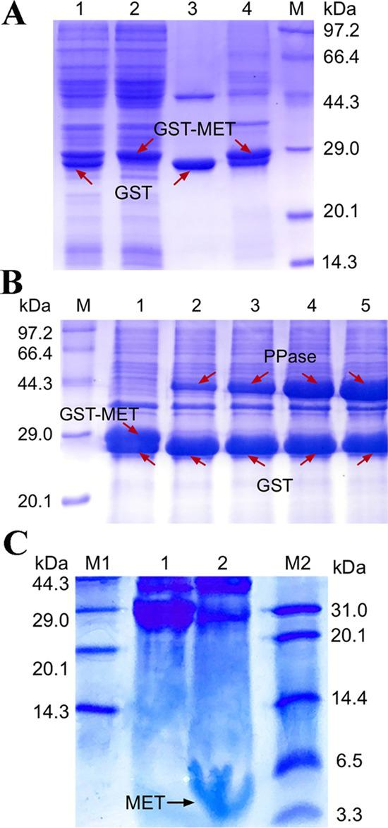 (A) Tris-SDS-PAGE analysis of purification of GST-MET and GST with glutathione-affinity chromatography; M, Protein MW Marker (Low); Lanes 1 and 2, soluble proteins from E. coli BL21/pGEX-6p-1 and E. coli BL21/pGEX-MET; Lanes 3 and 4, the elution of GST and GST-MET by 10 mM reduced glutathione elutes GST; (B) The digestion of GST-MET with different concentrations of PPase. Lane 1, GST-MET before the digestion; Lanes 2–5, the digestion of GST-MET under the treatment of different concentration ratios of GST-MET and PPase: 10:1, 5:1, 2.5:1, and 1:1. (C) Tricine-SDS-PAGE analysis of MET purification with glutathione sepharose high-performance medium. M1, protein molecular weight marker (Low); M2, ultralow molecular weight protein marker; Lane 1, before digestion; Lane 2, the purified MET.