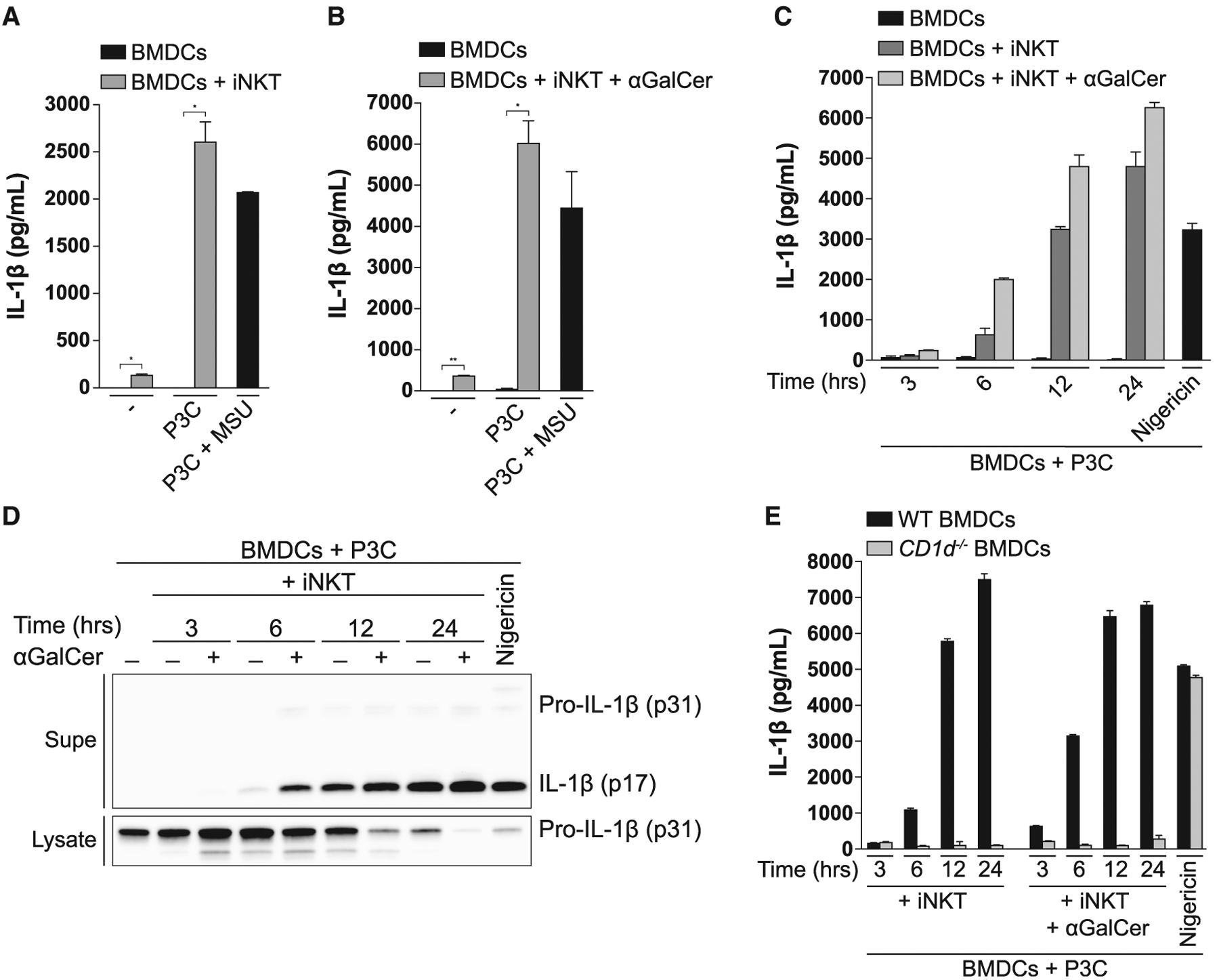 iNKT Cells Induce IL-1β Secretion by <t>BMDCs</t> in a CD1d-Dependent Manner (A and B) BMDCs were left unprimed or primed with Pam3CSK4 (P3C; 0.5 μg/mL) for 24 h and subsequently co-cultured with iNKT cells for 24 h in the (A) absence or (B) presence of αGalCer (50 ng/mL). IL-1β release was quantified by ELISA. As a control, BMDCs were primed with P3C for 4 h, followed by 6-h stimulation with <t>MSU</t> (100 μg/mL). The same concentrations of P3C, αGalCer, and MSU were used throughout all experiments. (C and D) P3C-primed BMDCs were cultured alone or with iNKT cells for the indicated times in the presence or absence of αGalCer. IL-1β release was quantified by ELISA (C), and cell-associated and extracellular IL-1β were analyzed by immunoblot (D). As a control, BMDCs were primed with P3C for 4 h, followed by 1-h stimulation with nigericin (10 μM). (E) P3C-primed BMDCs from WT and CD1d −/− mice were co-cultured with iNKT cells for the indicated times in the absence or presence of αGalCer. IL-1β release was quantified by ELISA. P3C-primed BMDCs stimulated with nigericin were used as a control. Error bars represent mean + SD of triplicate samples. Each panel is representative of at least three different experiments. *p