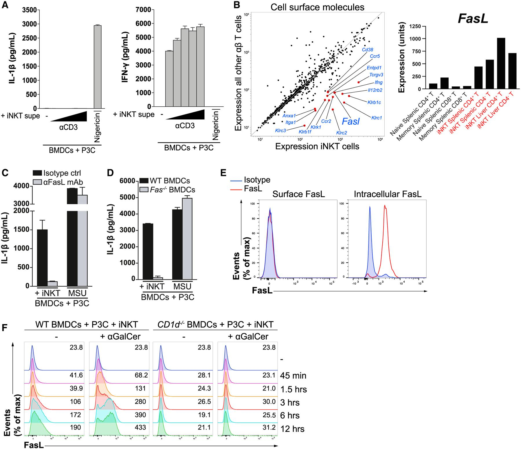 """iNKT Cells Employ the Death Receptor Ligand FasL to Instruct TLR-Primed BMDCs to Release IL-1β (A) iNKT cells were cultured in the presence of increasing concentrations of plate-bound anti-CD3 for 24 h, after which their cell-free Supes were used to stimulate P3C-primed BMDCs for 24 h. IL-1β (left) and interferon γ (IFN-γ; right) in the Supes were quantified by ELISA. Nigericin-stimulated BMDCs were used as a control. (B) The ImmGen database was mined to compare the expression of cell-surface proteins (Gene Ontology term """"cell surface,"""" GO0009986) expressed by iNKT cells versus other αβ T cells. The red dots represent genes expressed by iNKT cells with a fold change of greater than 5 compared with all other αβ T cells. Expression values comparing class means for specific T cell populations are shown in the right panel. (C) P3C-primed BMDCs were co-cultured with iNKT cells for 24 h in the presence of a FasL-blocking antibody (aFasL mAb) or an isotype control. IL-1β release was quantified by ELISA. MSU-treated BMDCs were used as a control. (D) P3C-primed BMDCs from WT and Fas −/− mice were co-cultured with iNKT cells for 24 h. IL-1β release was quantified by ELISA. MSU-treated BMDCs were used as a control. (E) Resting iNKT cells were stained with a FasL-specific antibody or an isotype control and subsequently analyzed by flow cytometry. The left panel represents surface staining, whereas the right panel represents permeabilized iNKT cells. (F) P3C-primed BMDCs from WT and CD1d −/− mice were co-cultured with CellTrace Violet-labeled-iNKT cells for the indicated times in the presence or absence of αGalCer, and the expression of FasL on the surface of iNKT cells was analyzed by flow cytometry. Numbers on the right of each histogram represent mean fluorescence intensity values. Error bars represent mean + SD of triplicate samples. Each panel is representative of at least three different experiments."""