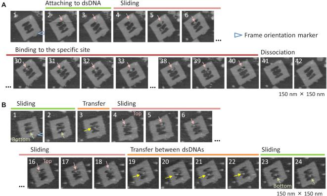 Successive HS-AFM images for observation of TET behaviors in a DNA frame. ( A ) TET attachment to dsDNA, sliding on dsDNA, binding to a specific site, and its dissociation. ( B ) TET sliding and transfer between two dsDNAs. Scanning 0.2 frame/s. Blue triangle: orientation marker of frame.