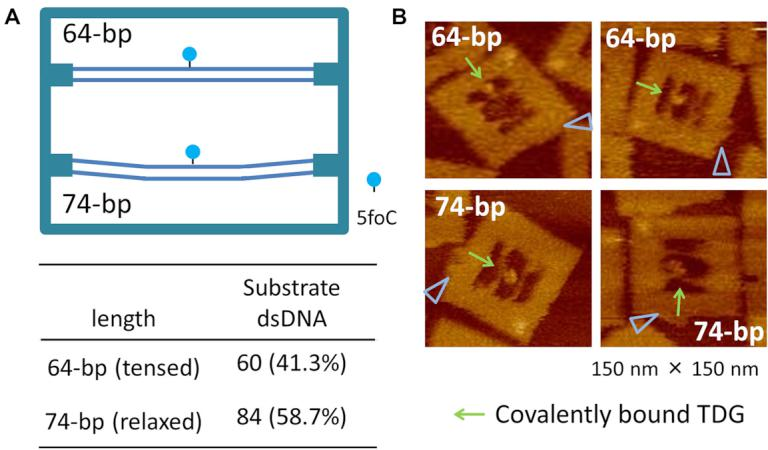 Tension-controlled model for TDG reaction analysis in the DNA nanochip. ( A ) The DNA origami frame carrying different lengths (64- and 74-bp) of 5foC-containing dsDNAs. ( B ) AFM images of covalently bound TDG. The blue triangle in the DNA images represents the DNA frame orientation marker.