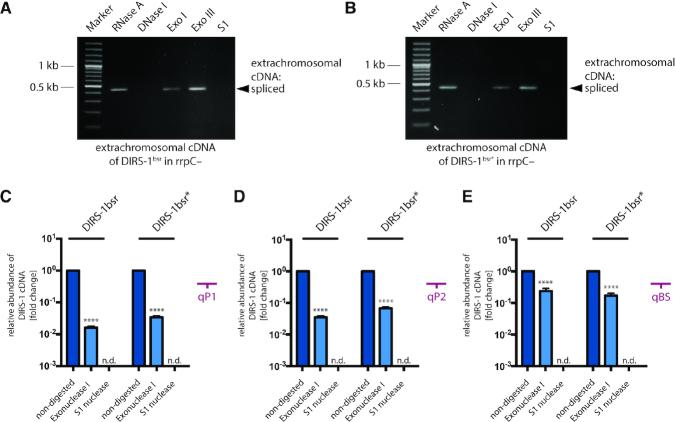 Features of extrachromosomal DIRS-1 bsr cDNA. Extrachromosomal cDNA samples were extracted from rrpC– strains transformed with DIRS-1 bsr ( A ) or DIRS-1 bsr* ( B ), and were cultivated in G418/BS10 medium that selects for strains with mobilized retrotransposon. The samples were treated separately with RNase A, DNase I, Exonuclease I (Exo I), Exonuclease III (Exo III) and S1 nuclease (S1). After digestion and heat inactivation of enzymes, the samples were analyzed by PCR with the primers #2212 and #2213 binding within the region of mbsrI cassette (binding position in Figure 2A ). Quantification of endogenous ( C and D ) and mbsrI -tagged versions ( E ) of DIRS-1 extrachromosomal cDNA after treatment with Exonuclease I and S1 nuclease, relative to the non-digested sample. Samples were extracted from rrpC– strains transformed with DIRS-1 bsr and DIRS-1 bsr* upon cultivation in G418/BS10 medium that selects for strains with mobilized retrotransposons. The cDNA abundance was monitored by qPCR using primers targeting positions qP1, qP2 and qBS (Figures 2A and 3A ) and is shown in logarithmic scale relative to the non-digested sample (set to 1). Each qPCR reaction was run in triplicate. Error bars : mean with S.D. Statistics: paired t test: P