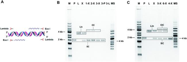 Experimental results for exonuclease combinations treatment. ( A ) The cleavage mechanism of Lamada and Exonuclease I combinations. Other exonuclease combinations (Lambda and RecJF; Exonuclease I and Exonuclease III) are shown in Supplementary Figure S1A and Supplementary Table S1 . ( B ) Three exonuclease combinations (LRL; LRC; LIC) removed linear DNA from a paradigm mixture. M, 1 kb DNA ladder; P, pGL4.23 plasmid; L, linearized plasmid; X, mixture (plasmid and linear DNA 1:1); 1-X, LRL-Mixture, LRL to cut mixture; 2-X, LRC-Mixture, LRC to cut mixture; 3-X, LIC-Mixture, LIC to cut mixture; 3-P, LIC to cut plasmid; 3-L, LIC-Lin, LIC to cut linearized plasmid; MS, supercoiled ladder. ( C ) I+III combination and Exonuclease VIII, truncated elimination tests. 5-X, VIII4-Mixture, Exonuclease VIII, truncated within Buffer 4 to remove mixture; 6-X, VIIIC-Mixture, Exonuclease VIII, truncated within CutSmart buffer to remove mixture; 4-X: I+III-Mixture, I+III to remove mixture. Loading samples for agarose gel electrophoresis were purified by phenol-chloroform.