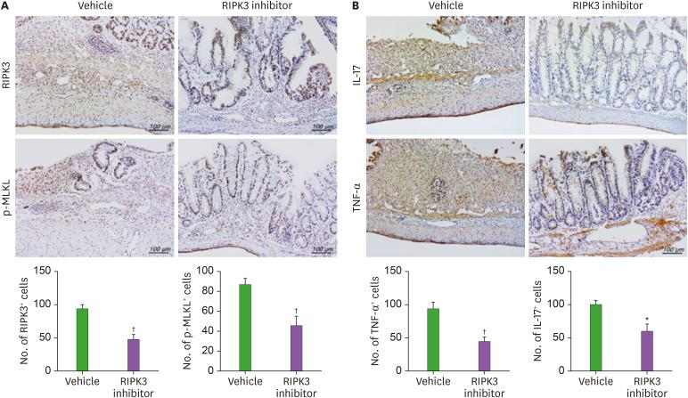 RIPK3 inhibitor treatment reduced the expression of necroptosis factors and proinflammatory cytokines in DSS-induced colitis. Immunohistochemical visualization of (A) RIPK3 and p-MLKL, (B) IL-17 and TNF-α expression in colon tissue of DSS-induced colitis mice. Data are expressed as mean±SD. * p