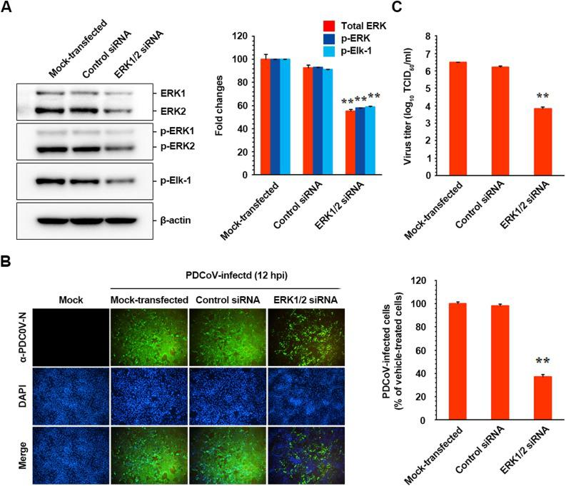 ERK1/2 knockdown suppresses PDCoV infection. (A) ST cells were transfected with 100 nM ERK-specific siRNA or control siRNA using Lipofectamine 3000 followed by PDCoV infection at 24 h post-transfection. At 12 hpi, cellular lysates were prepared and subjected to immunoblotting using an antibody against ERK1/2, p-ERK1/2, or p-Elk-1. The blot was also reacted with an anti-β-actin antibody to verify equal protein leading. Each protein expression was quantitatively analyzed by densitometry and presented as the relative density value to the β-actin gene, and fold changes in each protein:β-actin ratio are plotted. (B) For immunostaining, transfected and infected cells were fixed at 12 hpi and stained with an anti-PDCoV N antibody followed by Alexa green-conjugated goat anti-mouse secondary antibody (first panels). The cells were then counterstained with DAPI (second panels) and examined under a fluorescent microscope at 200× magnification. Quantification of PDCoV production was assessed exactly as described in the legend of Fig. 4 B and presented (left panel) (C) The virus supernatants were collected at 12 hpi, and viral titers were determined. Values are representative of the mean of three independent experiments, and error bars represent the mean ± SDM. ** P